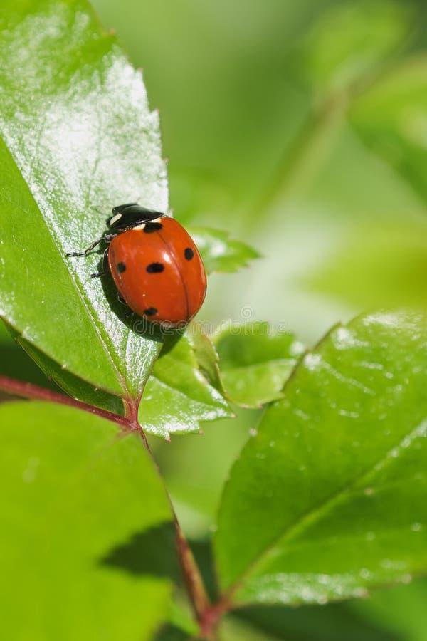 макрос ladybird на зеленых лист стоковые изображения rf