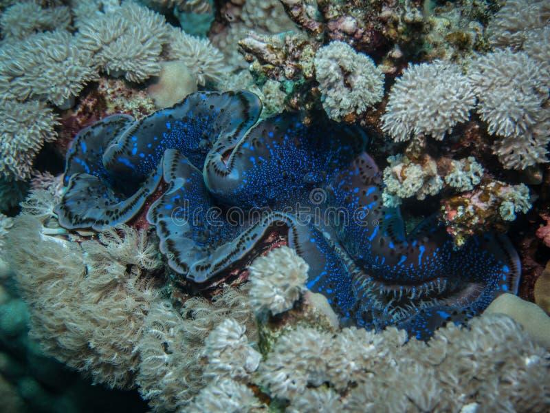 Максимумы Tridacna clam максимумов стоковое изображение rf