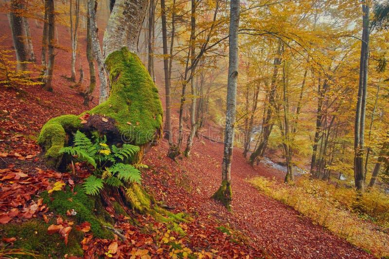 Максимум в горах Карпатов и Hutsul обнаружил местонахождение тракт с старым лесом, где старые гиганты встречают в wi стоковое изображение