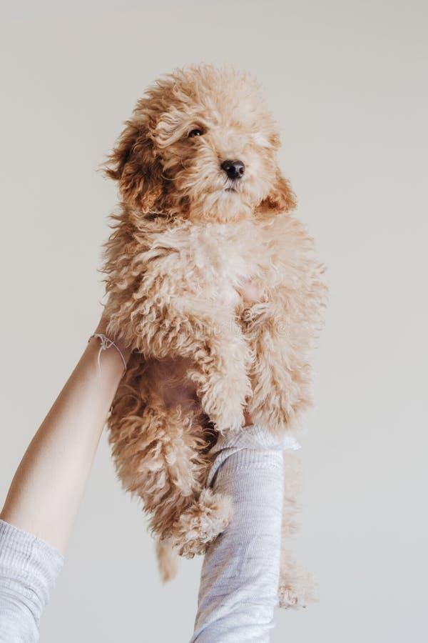 Максимум пуделя игрушки младенца удерживания женщины домой, внутри помещения, любовь и забота для концепции животных стоковая фотография