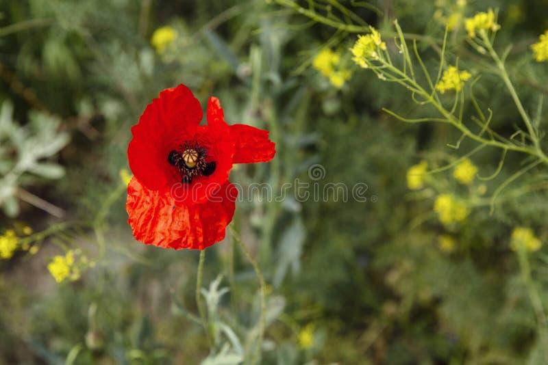 Мак дикий цвести в поле Яркое цветене весны стоковое изображение