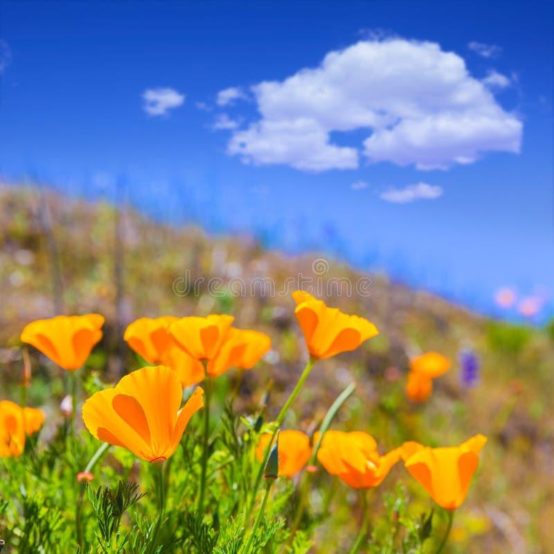 Мак маков цветет в апельсине на полях весны Калифорнии стоковое изображение rf