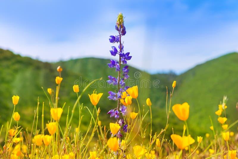 Мак цветет желтые маки в западной Калифорнии стоковые изображения
