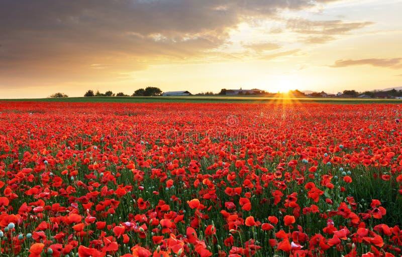 Мак цветет луг и славная сцена захода солнца стоковая фотография rf