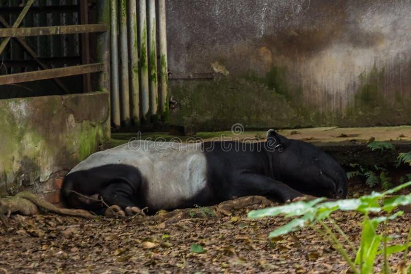 Малазийский тапир (tapirus indus), также называемый азиатским тапиром, является самым большим из пяти видов тапира и единственным стоковая фотография