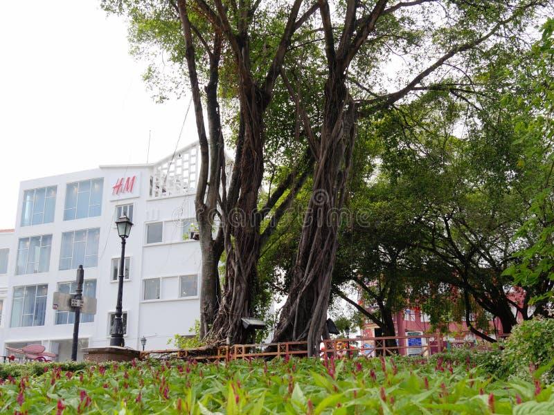 Малакка, Малайзия--Февраль 2018: Высокие деревья растя в саде поперек от современных зданий около голландского квадрата в Малакке стоковые изображения rf