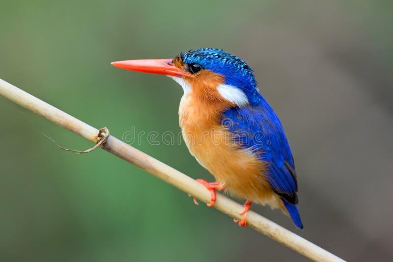 малахит kingfisher