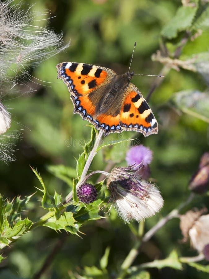 Малая бабочка Tortoiseshell Стоковое фото RF