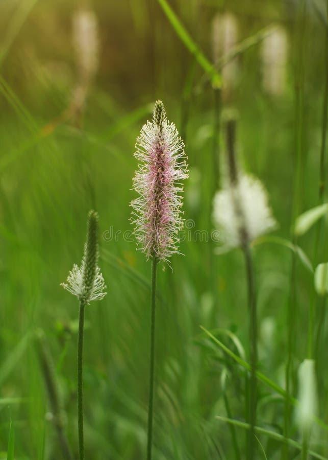 Малая глубина фото поля, только цветка подорожника l ribwort стоковые фото