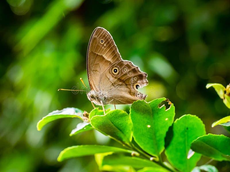 Малая коричневая бабочка сатира на лист стоковая фотография