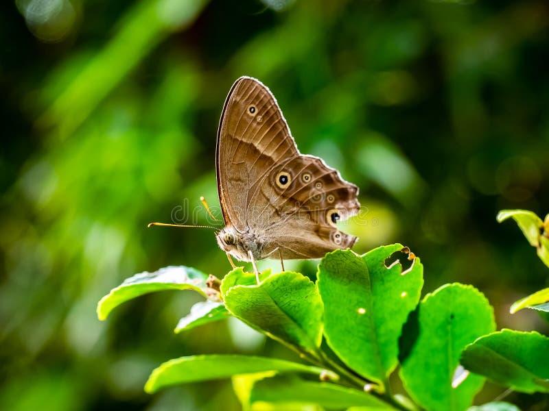 Малая коричневая бабочка 2 сатира стоковые фото