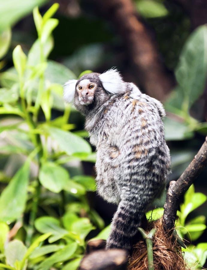 Малая обезьяна - Marmoset стоковое изображение rf