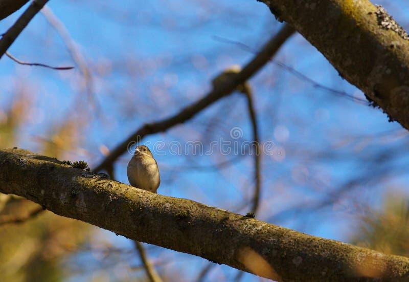 Малая певчая птица на ветви стоковая фотография rf