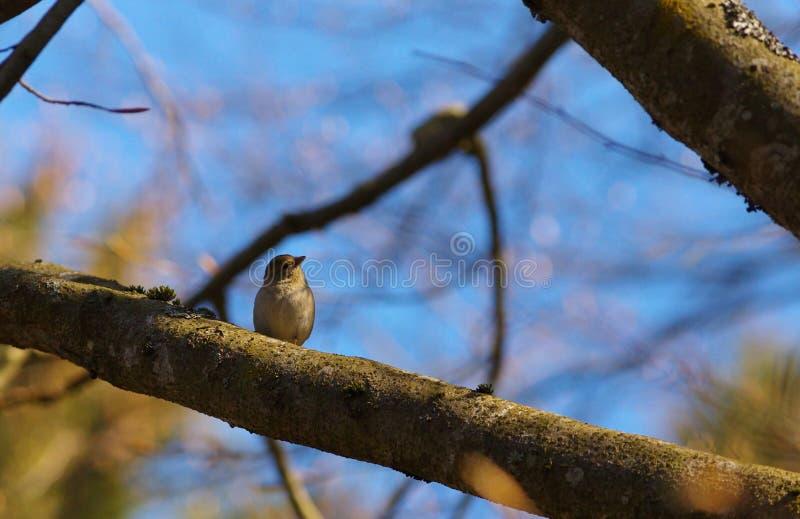 Малая певчая птица на ветви стоковые фотографии rf