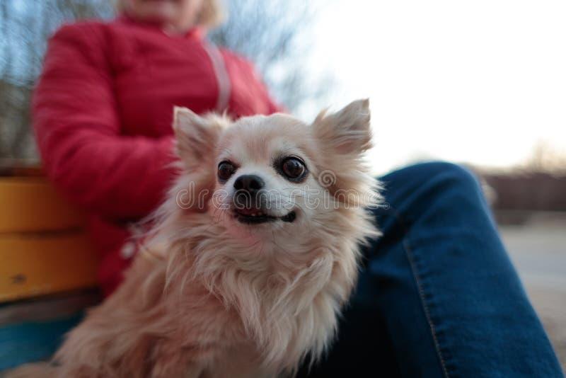 Малая пушистая и белая собака около своего предпринимателя на стенде стоковая фотография rf
