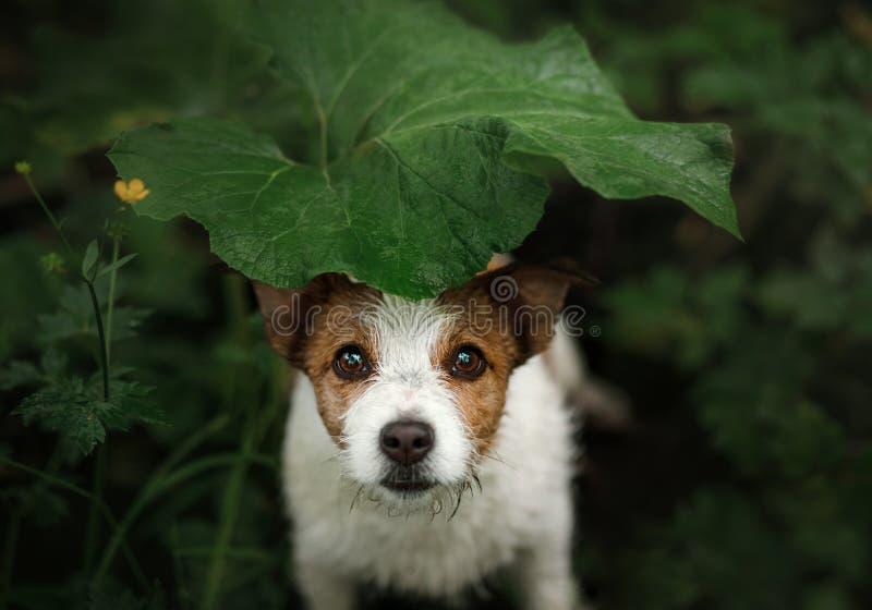 Малая собака в дожде прячет под лист стоковая фотография rf
