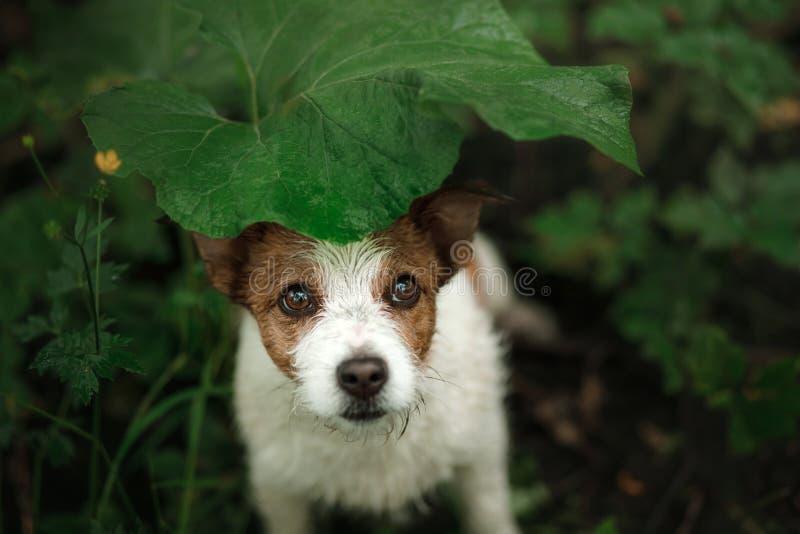 Малая собака в дожде прячет под лист стоковые изображения rf
