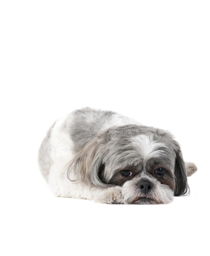 Малая собака Havanese кладя на белый фон смотря унылый стоковые изображения