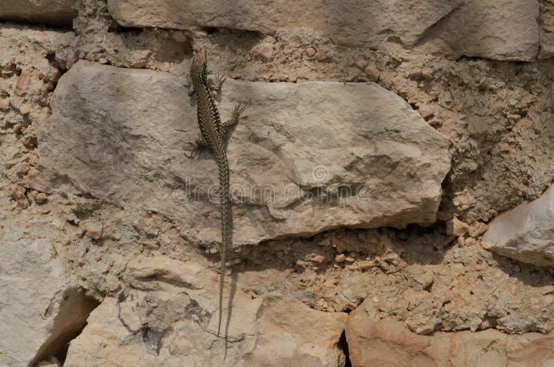 Малая ящерица с коричневой и черной картиной на камне стоковые фото