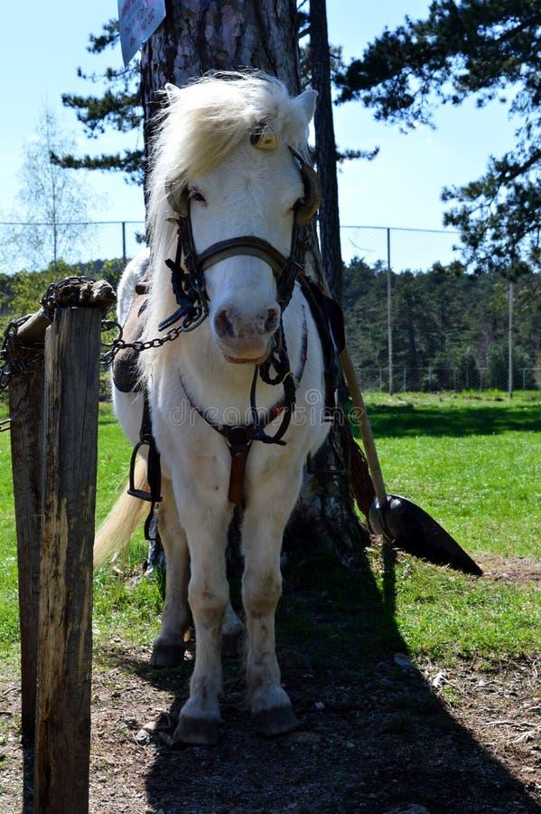 Маленькая белая лошадь стоковое изображение rf