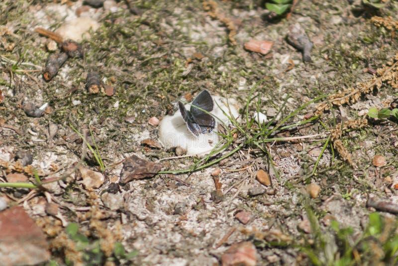 Маленькая голубая бабочка сидя на утесе стоковые фотографии rf