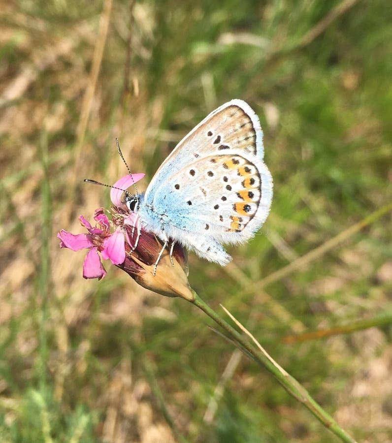 Маленькая голубая бабочка стоковое изображение rf