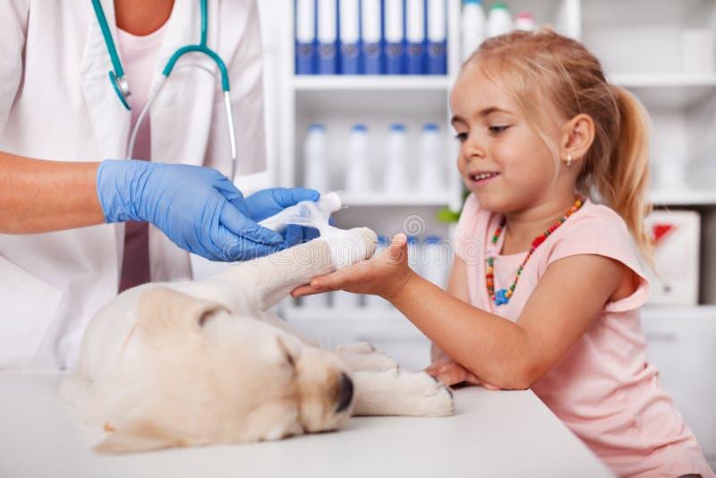 Маленькая девочка держа лапку собаки щенка - помогать ветеринарному профессионалу заботы приложить прокладку повязки стоковые изображения