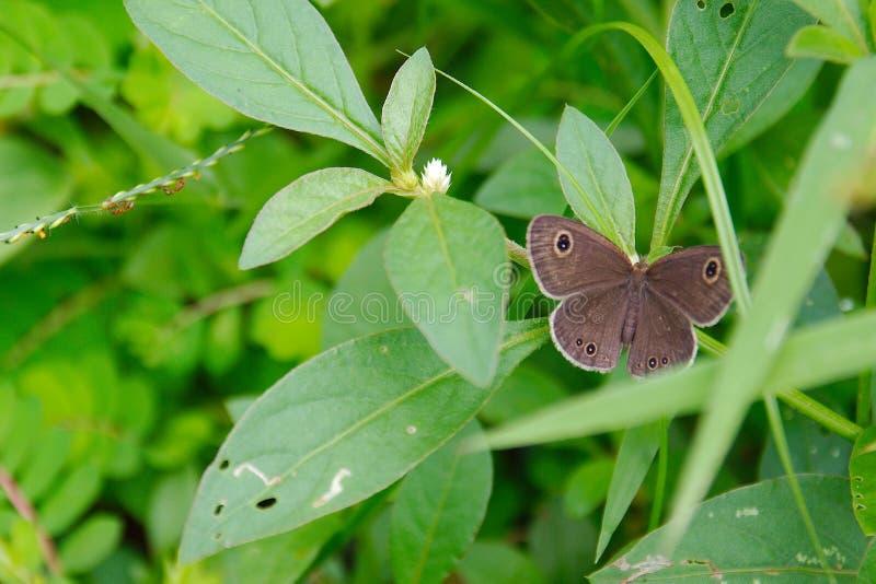 Маленькая деревянная бабочка сатира захваченная в конце вверх стоковая фотография rf
