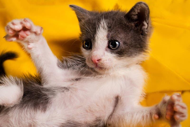 Маленькая домашняя кошка лежа на его назад с лапками вверх на желтом конце предпосылки вверх стоковое фото