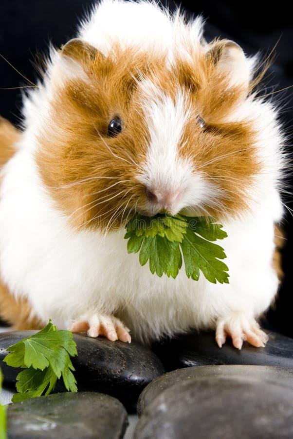 Маленькая еда морской свинки стоковая фотография