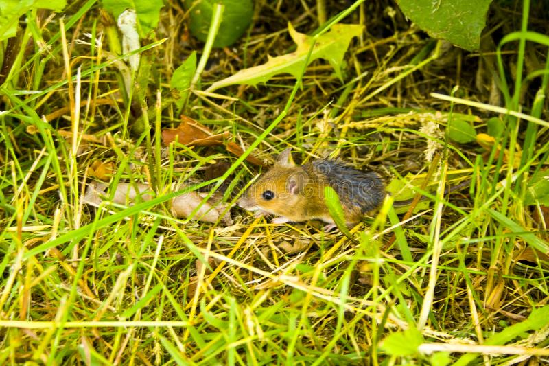 Маленькая землеройка прячет в траве перед котом стоковое изображение