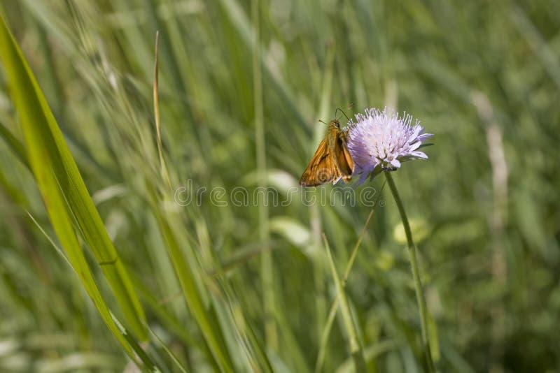 Маленькая коричневая бабочка, сидящая на пурпурном цветке в лугу в летний день стоковое изображение rf