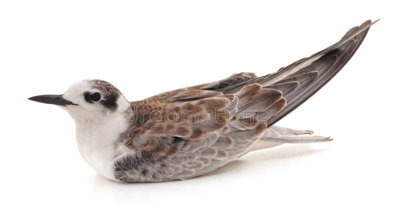 Маленькая коричневая чайка стоковое изображение