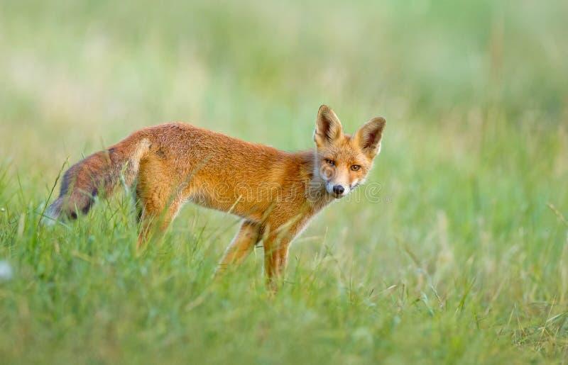 Маленькая красная лисица в дюнах стоковое изображение