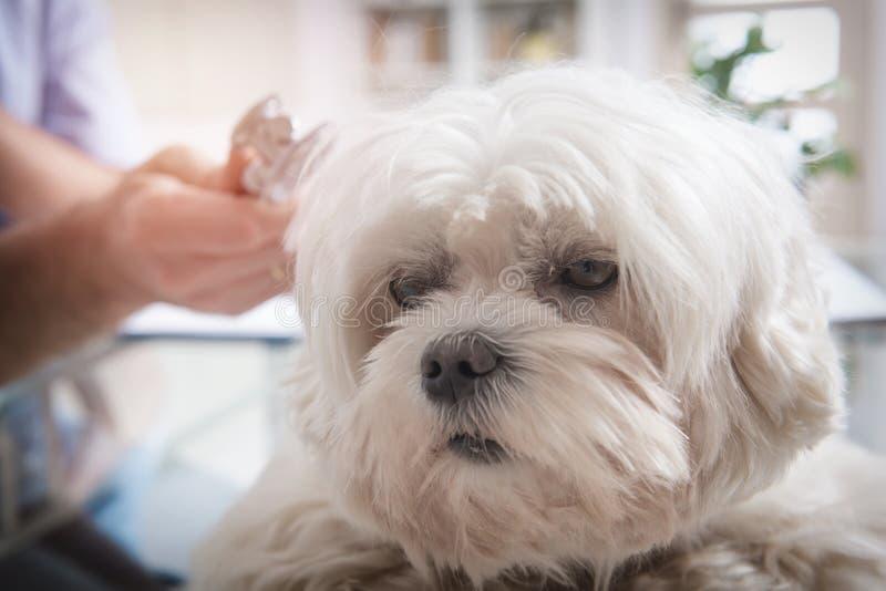 Маленькая мальтийсная собака на офисе ветеринара стоковые фотографии rf