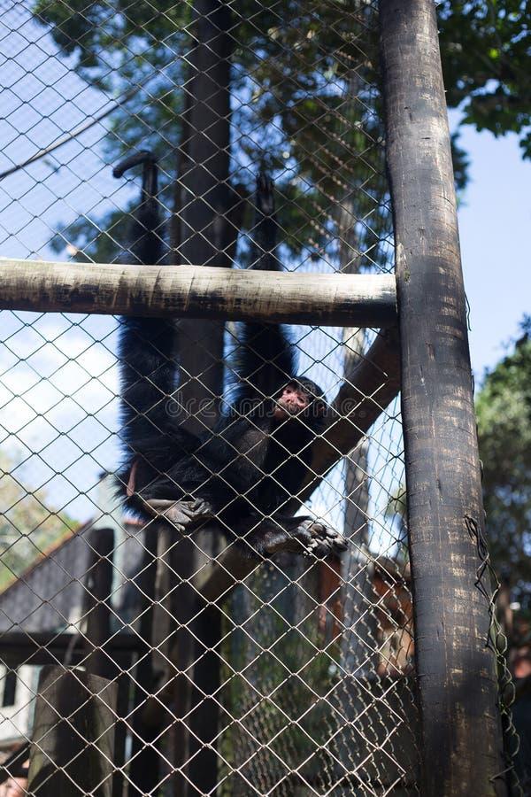 Маленькая обезьяна в клетке стоковое изображение rf