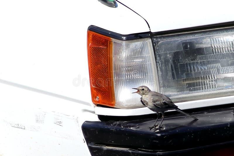 Маленькая птица кричит с открытым клювом на бампере автомобиля Природная природа и промышленное столкновение, экологическая конце стоковая фотография