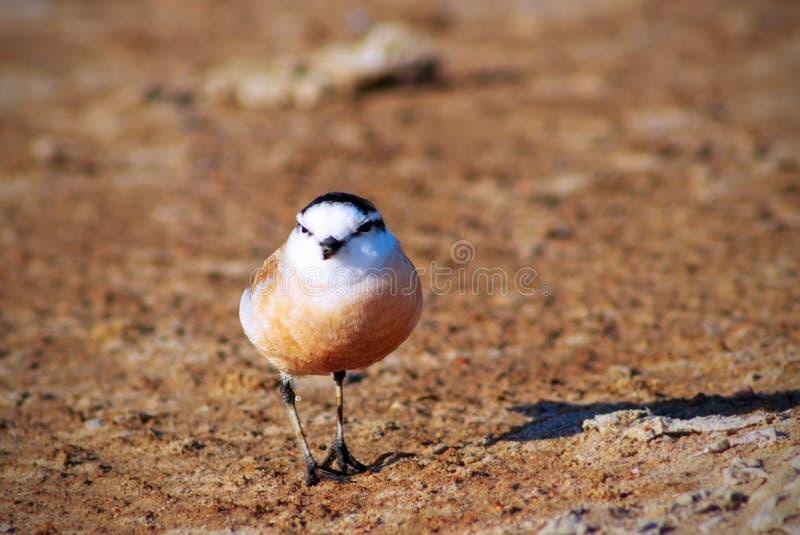 маленькая птица сидя на коричневой земле стоковое изображение