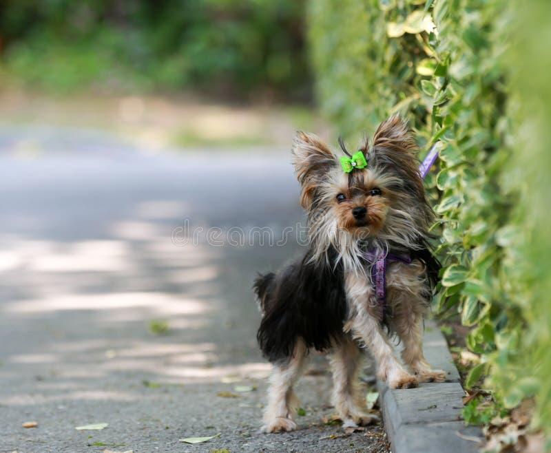 Маленькая собака Йоркшира стояла на краю зеленой загородки стоковое фото rf