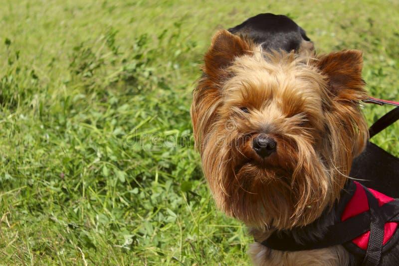 Маленькая собака - йоркширский терьер на предпосылке зеленой травы стоковые фотографии rf