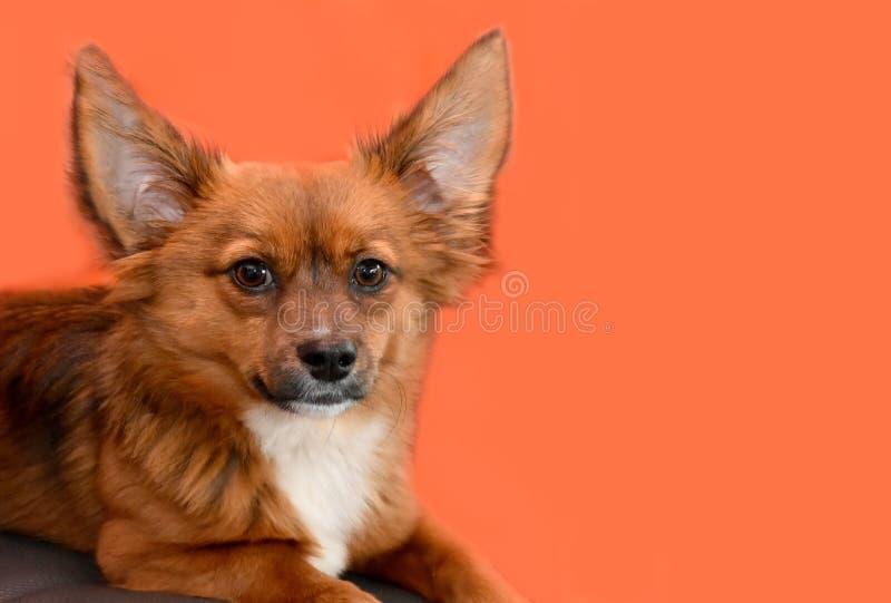 Маленькая собака щенка с большими удивленными глазами и поднятыми ушами стоковые изображения rf