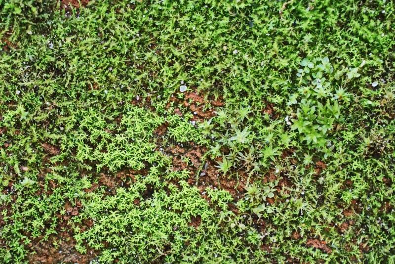 Маленькие зеленые мхи на поверхности кирпича стоковое изображение rf