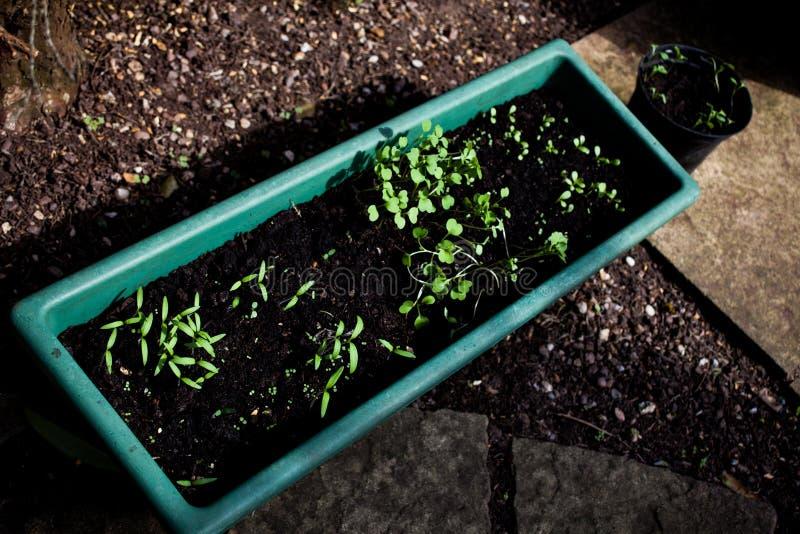 Маленькие зеленые растения в цветочных горшках Малое растущее цветков младенца от почвы Концепция природы с саженцами в почве Agr стоковые изображения
