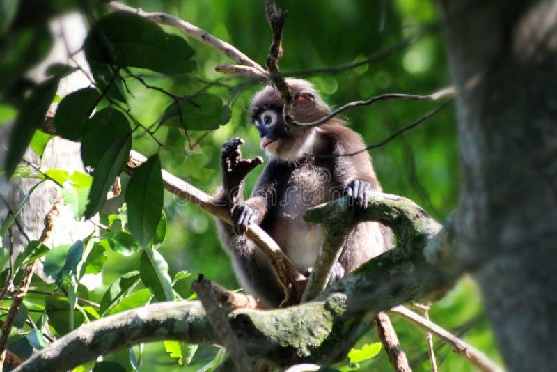 Маленькие обезьяны лист или Dusky Langur есть листья в дождевом лесе стоковые фото
