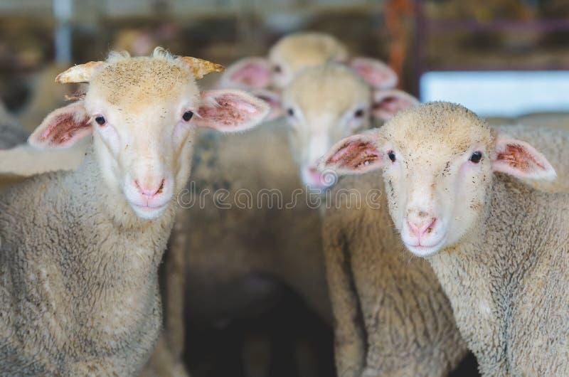 маленькие овцы, овечки и ребенк козы стоковые изображения rf