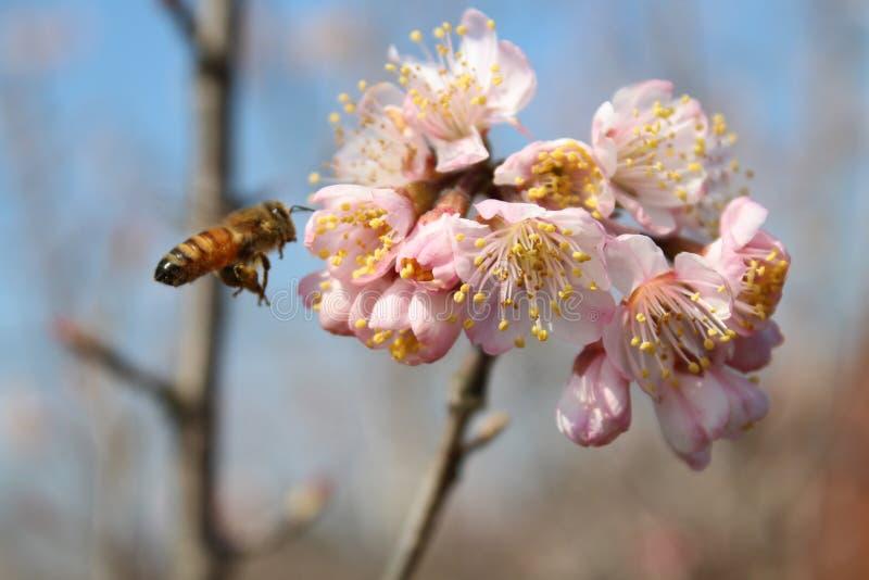 Маленькие пчелы приняли пинку формы меда восточную вишню стоковое фото