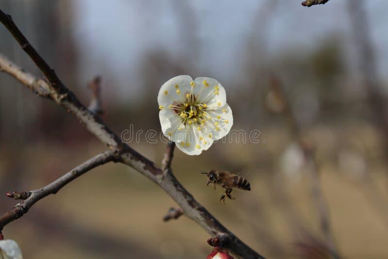 Маленькие пчелы приняли wintersweet белизны формы меда стоковые фото