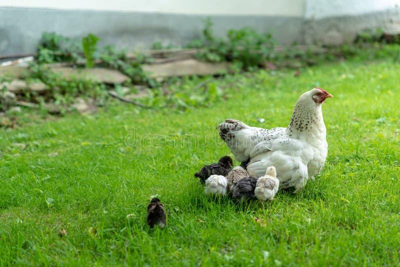 Маленькие цыпленоки при цыпленок матери идя на траву стоковые изображения rf