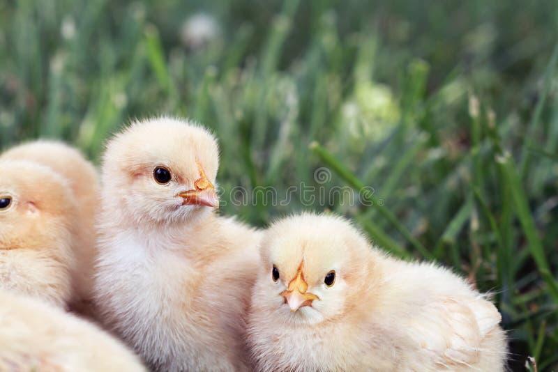 Маленькие цыпленоки стоковая фотография rf