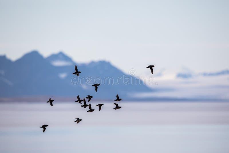 Маленькие чистиковые, alle Alle, летая в стадо в Шпицбергене, Свальбард, Норвегия стоковые изображения rf